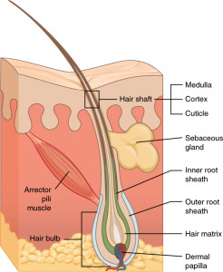 A hair follicle. Source: Wikki commons