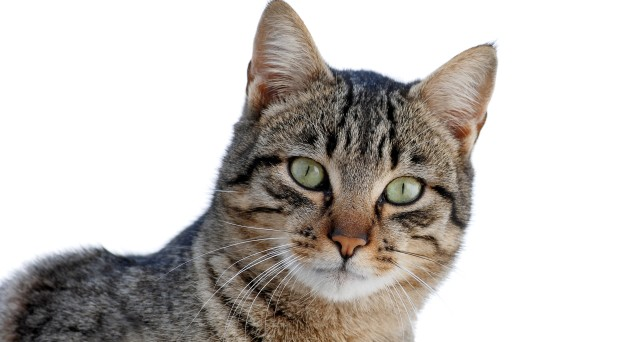 Toxoplasma, a common parasite that makes you angry
