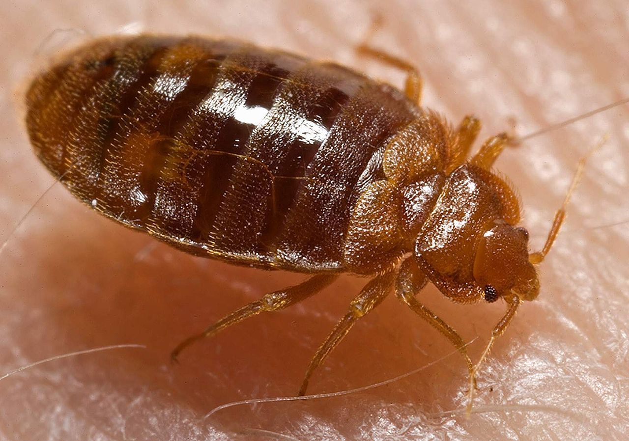bed bugs become a new target of the wonder drug ivermectin - bugbitten