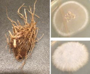 Rhizome of Cyperus rotundus and the two fungal cultures associated with it. Source: https://malariajournal.biomedcentral.com/articles/10.1186/s12936-016-1536-7