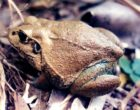 Native Australian frog (Cyclorana australis). Source: Wikimedia commons