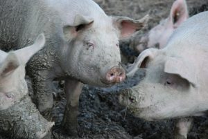pigs image