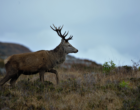 Red deer stag in Scotland_01