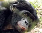 A bonobo at Lola Ya Bonobo sanctuary