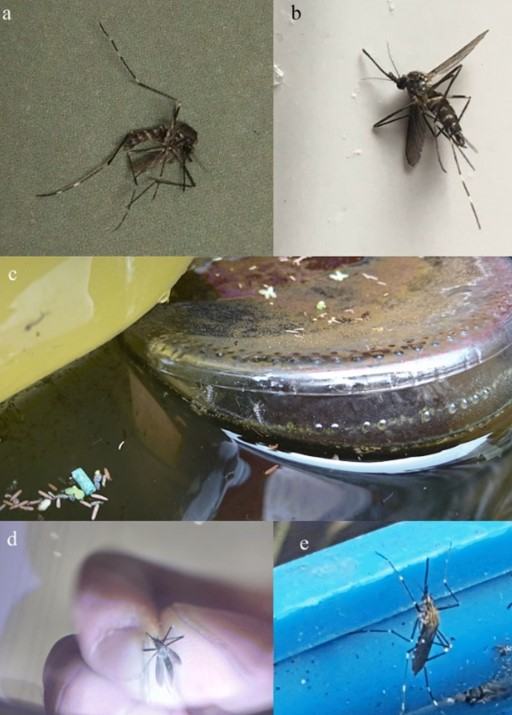 Photos of Aedes japonicus adults submitted by users of the citizen science platform Mosquito Alert. Source: Eritja et al., 2019.
