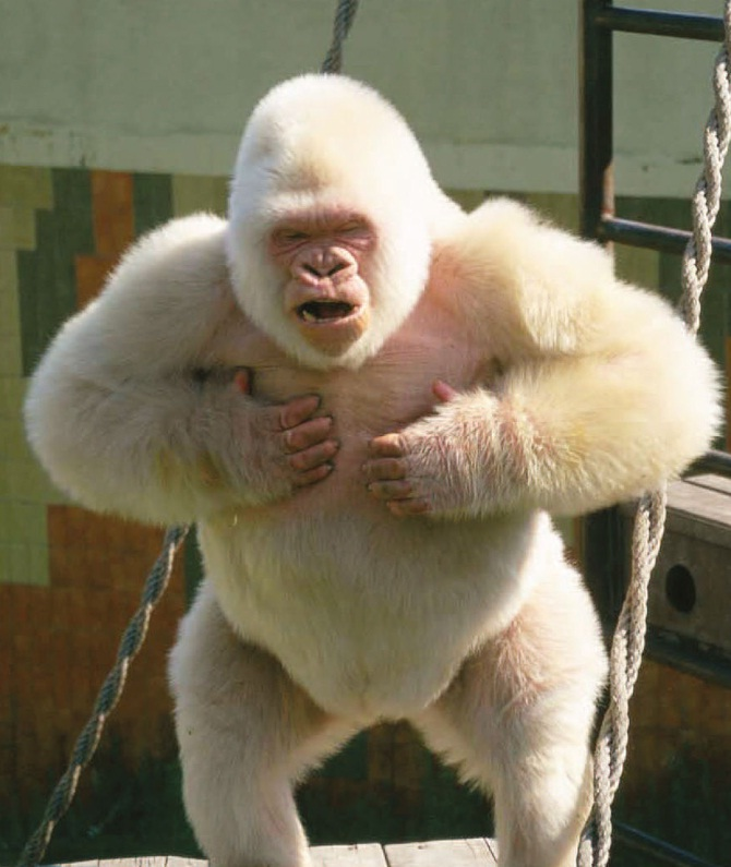 snowflake s story a tale of albinism and inbreeding on biology