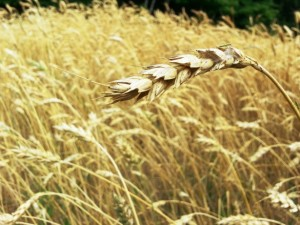 wheat-grain-field