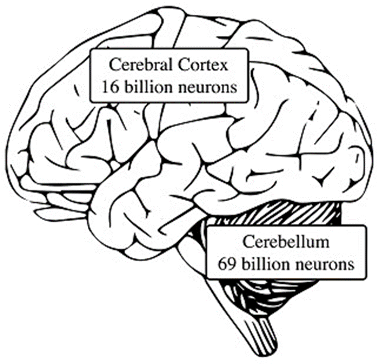 The neuron counts are based on studies by Lent, R., et al., 2012.