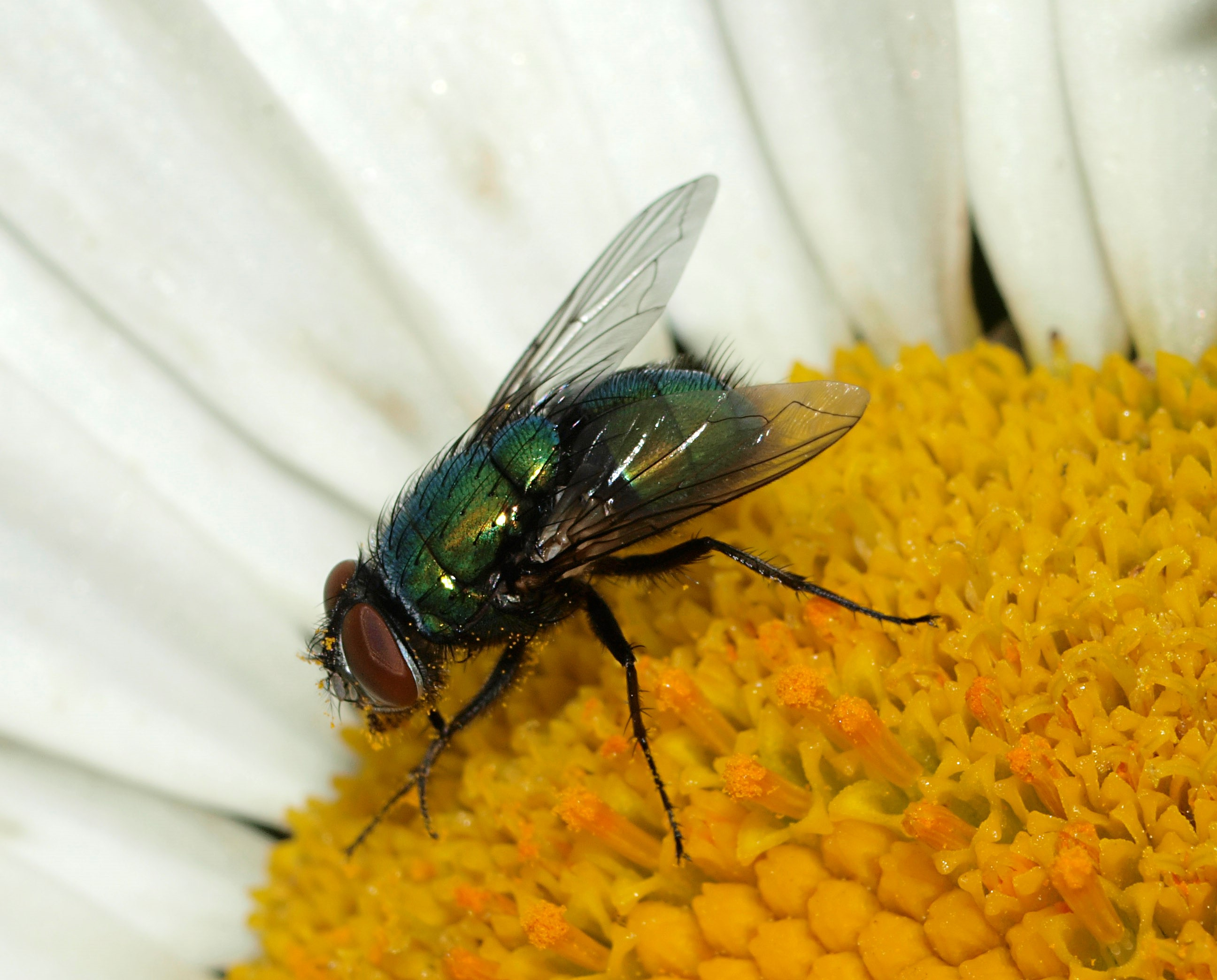 how flies are flirting on the fly on biology