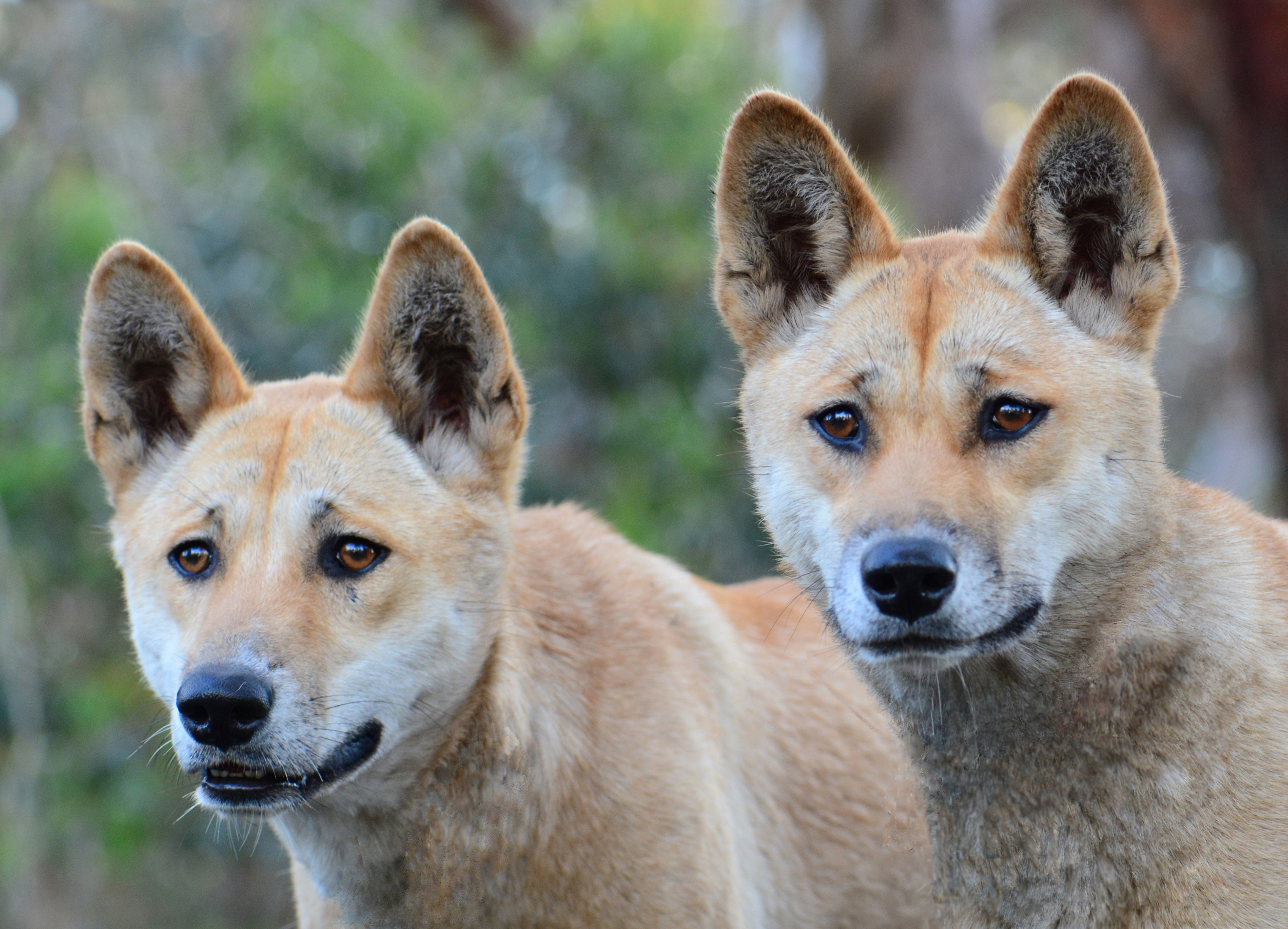 The Australian Dingo Untamed Or Feral On Biology