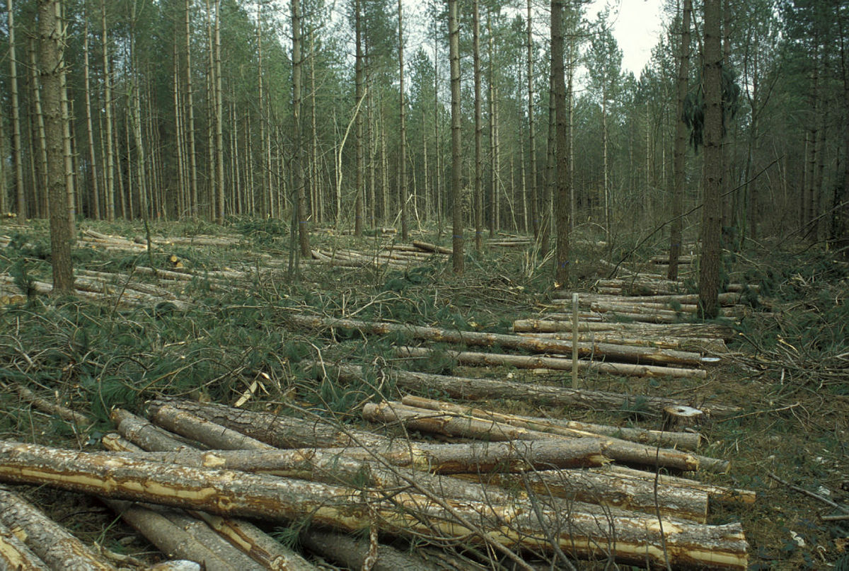 A row of felled trees lying in the middle of a forest